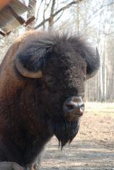 И это тоже бизон